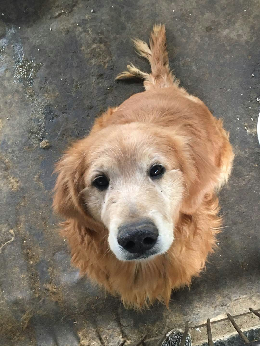 Recently rescued dogs from Asia   Evergreen Golden Retriever